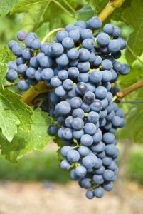Cabernet Organic Grape - International Day