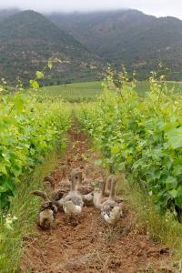 Biodynamic wines for Earth Day Koyle Geese