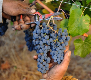 South American Biodynamic wine harvest Koyle hand picking