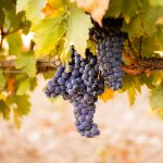 European Organic Wine Harvest Part 2