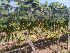 Inkarri White Grapes on the Vine