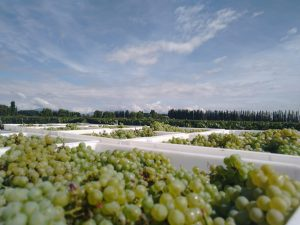 Inkarri Grapes Early Argentina Harvest